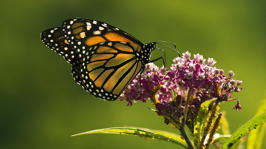 A monarch butterfly takes a break on a swamp milkweed flower.