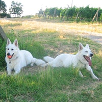 Asta and Issa, White Swiss Shepherd dogs, lying in a vineyardGallery of Readers' Dogs: 1,100+ Photos!