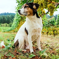 Mani, a mixed breed dog, amid the vines at Chehalem Winery in OregonGallery of Readers' Dogs: 1,100+ Photos!