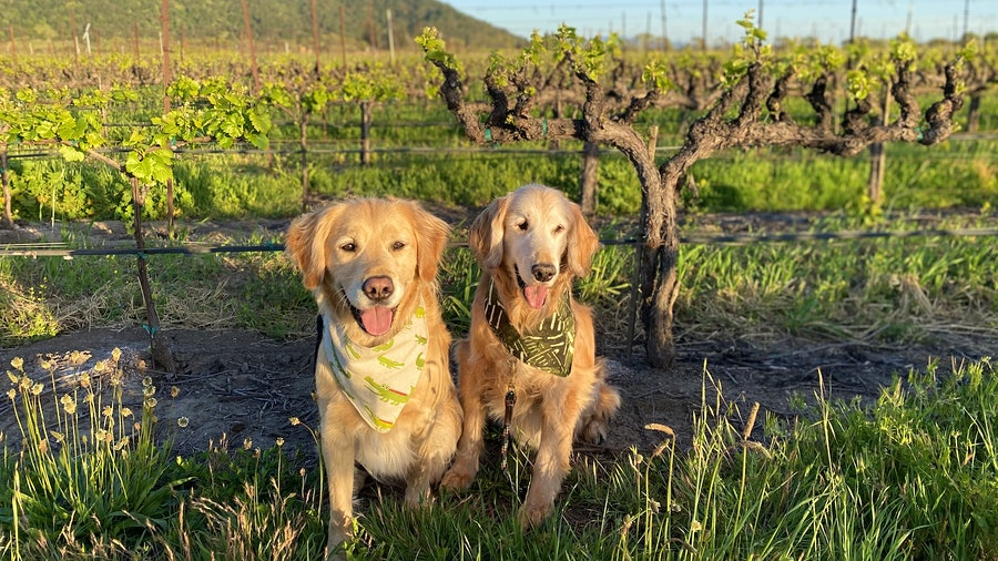 Parker and Truman, a pair of Golden Retrievers, in an old-vine vineyard