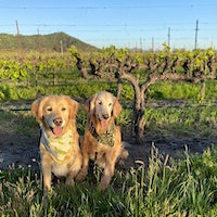 Parker and Truman, a pair of Golden Retrievers, in an old-vine vineyardGallery of Readers' Dogs: 1,100+ Photos!