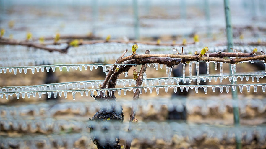 Chablis growers sprayed vines with water as temperatures fell, coating buds in protective ice.