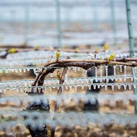 Chablis growers sprayed vines with water as temperatures fell, coating buds in protective ice.Polar Blasts Test French Vintners' Resolve