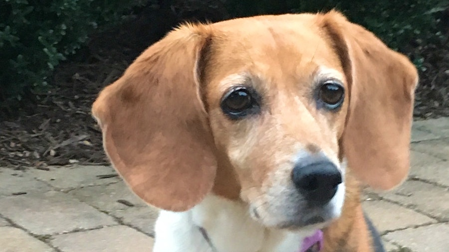 Portrait of Carly, a Beagle