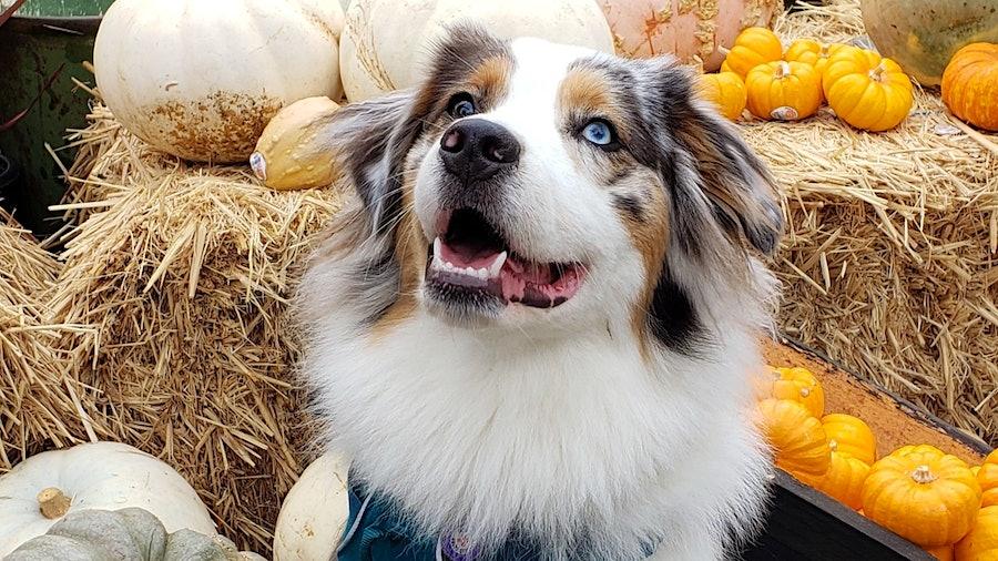 Portrait of Ellie, an Australian Shepherd, in front of a pumpkin display