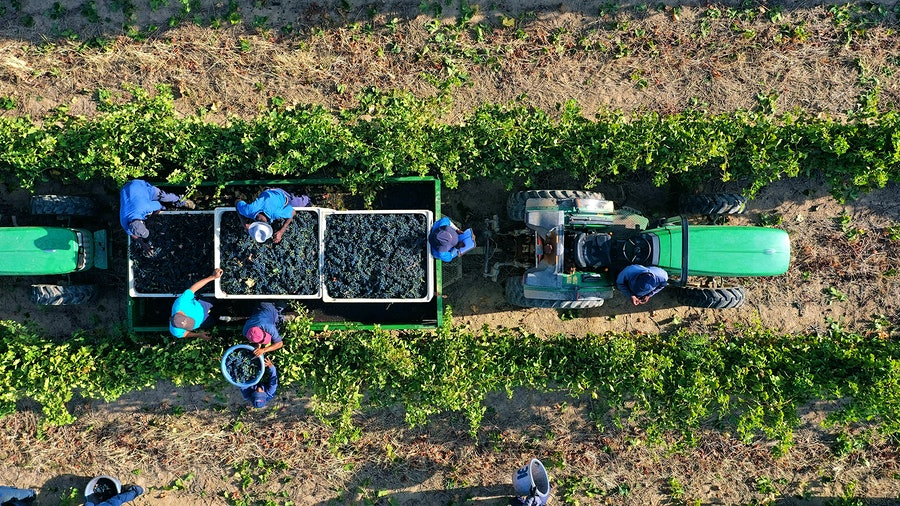People harvesting grapes in a vineyard with a tractor
