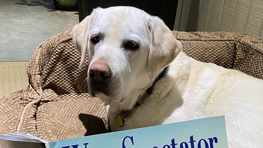 Portrait of Wallace, a English Labrador Retriever, reading Wine Spectator's Dogs of Wine Country issue