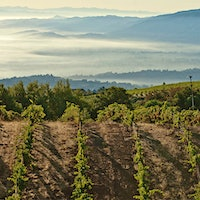 A steep slope, with fog in the background, at Ridge Vineyards' Monte Bello estate in California's Santa Cruz Mountains97-Point California Cabernet, Seamless Champagnes and Powerful Super Tuscans