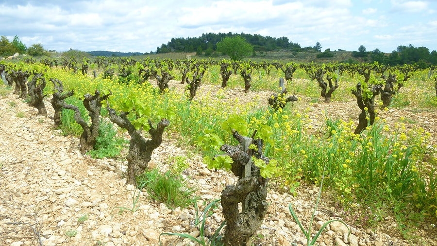 Based in an eco-friendly building made of hemp bricks, Château Maris has been a leading winery both for sustainable winemaking and for Languedoc-Roussillon.