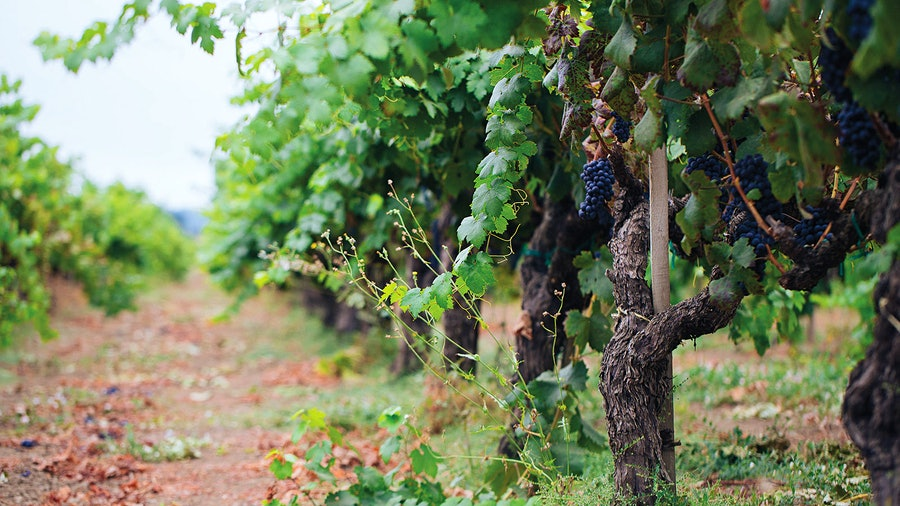 Seghesio taps more than 150 vineyard lots throughout Sonoma County for its noteworthy Zinfandel.