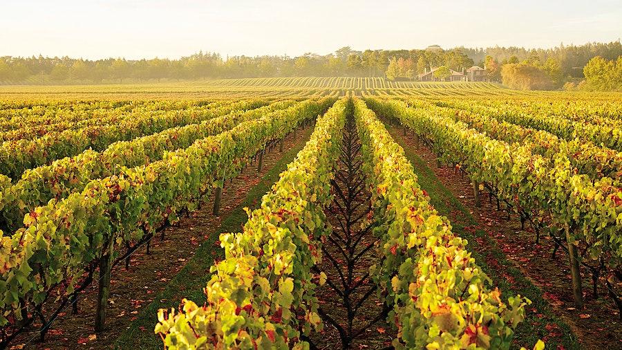 Chardonnay vineyards in the Kumeu region of New Zealand's North Island