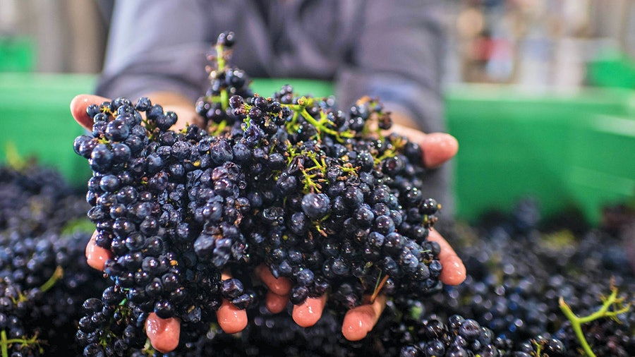 Both the 2018 and 2019 vintages in California were excellent for Pinot Noir, with moderate temperatures during the growing season leading to vivid, concentrated wines.